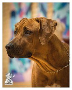 Met this gorgeous girl at the Ridgeback Show in Slagelse, Denmark. Her name is Stardust's Jar of Heart's Jemma. #rhodesian #rhodesians #rhodesianridgeback #rhodesian_ridgeback #rhodesianridgebacks #projectrr #ridgeback #ridgebacks #ridgebacksofinstagram #rr #dog #dogstagram #dogsofinstagram #dogs #instadog #nikon #d810 #d810nikon