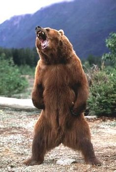 Kodiak brown bear (Ursus arctos middendorffi) threat display - the stuff of nightmares. When standing fully upright on its hind legs, a large male could reach a height of 3 m ft). Urso Bear, Animals And Pets, Cute Animals, Wild Animals, Baby Animals, Love Bear, Bart The Bear, Tier Fotos, Bear Art