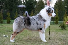 australian shepherd pomeranian mix -