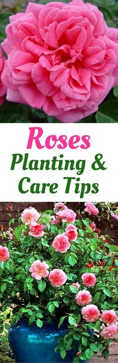 Roses in Your Garden | Can I Grow Roses in a Pot#garden #grow #pot #roses Rose Plant Care, Rose, Plant Care, Rose Garden Design, Plant Breeding, Garden Care, Plants, Garden Maintenance, Growing Roses