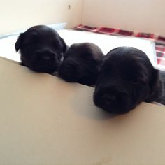 Precious three week old Skye Terrier puppies!!!  Awwwwww!!!