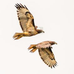 Double-shot Red-tailed Hawk