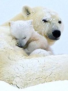 Polar Bear Cub Asleep in Mama's Embrace. Photo Ours, Photo Animaliere, Nature Animals, Animals And Pets, Beautiful Creatures, Animals Beautiful, Cute Baby Animals, Funny Animals, Baby Polar Bears