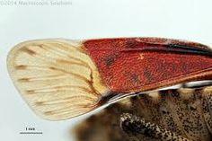 Hemiptera wing에 대한 이미지 검색결과