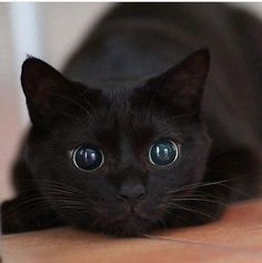 Black Cat Magic: Cats Vs Panthers - I Can Has Cheezburger? Black Cat Magic: Cats Vs Panthers - World's largest collection of cat memes and other animals Cute Cats And Kittens, Baby Cats, Kittens Cutest, Black Kittens, Pretty Cats, Beautiful Cats, Animals Beautiful, Cute Baby Animals, Funny Animals