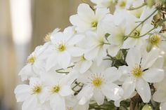 A profusion of pure white flowers cover the unique deeply cut, leathery, green leaves. Excellent for trailing down banks (like an avalanche of snow when in bloom), as a groundcover or trained along a wall or fence. Evergreen.