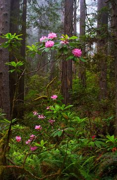 Rhododendron - Redwood National Park by Tucapel Beautiful World, Beautiful Gardens, Beautiful Flowers, Beautiful Places, Spring Landscape, Forest Landscape, Landscape Wallpaper, Nature Wallpaper, Landscape Photography