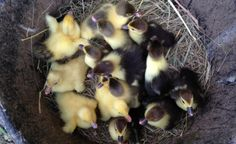 Eggs: $25 per half dozen Ducklings: $10 each, assorted colors. $12 each for just barred/ ripple. Unsexed Juvies: $15 each unsexed, $20-$25 each barred/ripples unsexed Adults: Drakes $25-45, hens...