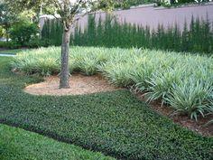 Dianella Tasmanica 'Variegata' - Flax lily