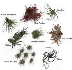 Air plant types Tillandsia Types Of Air Plants 2018 Tillandsia Funckiana Air Plant Decorations Indoor Plants Needle The Air Plant Hub Types Of Air Plants 2018 Tillandsia Funckiana Air Plant Decorations - ixiqi Garden Terrarium, Garden Plants, House Plants, Terrariums, Air Plant Terrarium, Flowering Plants, Types Of Air Plants, Air Plants Care, Air Plant Display
