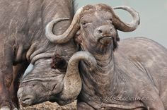 Old Friends! by Peter Chadwick, via Buffalo Bulls, African Buffalo, Safari, Water Buffalo, Africa Art, Animal Faces, Pictures To Draw, Cattle, Beautiful Creatures