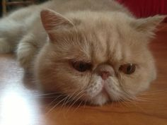 Cat - Chat - Exotic shorthair - Flocon on Yummypets.com