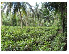 Characterizing the traditional tree garden systems of southwest Sri Lanka  https://environment.yale.edu/tri/fellow/2020/