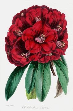nepal 39 s national flower rhododendron tattoo ideas inspiration pinterest tattoo. Black Bedroom Furniture Sets. Home Design Ideas
