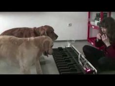 Who knew that golden retrievers could also be musical geniuses?  Flohwalzer - piano dogs.mp4
