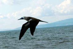 Seabird. Read more here: http://www.puertovallarta.net/what_to_do/index.php #vallarta #puertovallarta #mexico #jalisco #sightseeing #travel