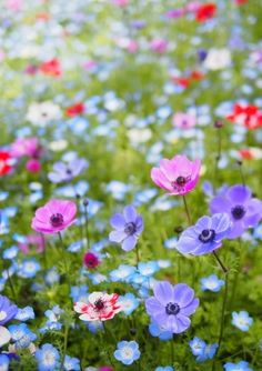field of anemone