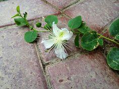 Alcaparras são o botão fechado de uma flor bem bonita (observe as bolinhas verdinhas).