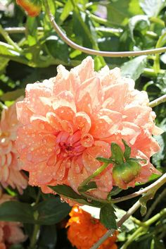 Dahlia Dahlia Flowers, Calla Lily, Amazing Gardens, Landscaping, Rose, Nature, Plants, Dahlias, Pink