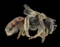 Micro photography of native bees and other small insects from the USGS Bee Inventory and Monitoring Lab by Sam Droege