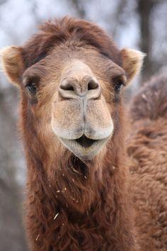:Dromedary Camel