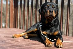 "This dog breed originates from Germany,they were originally called ""Rottweiler Metgerhund"" meaning ""Rottweil butcher's dog."" They used to guard livestock and pull carts filled with butchered meats to markets."