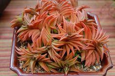 By Far-out-flora - Haworthia Limifolia