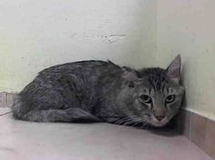 "2B KILLED 9/18 @ NOON- NYC ACC: FLUFFY ID #A1013614. I'm a male gray tabby & blk dsh mix about 1 YR 6 MOS old. FRIENDLY FLUFFY'S OWNER SAYS HE LIKES TO ""TALK"" AND THAT HE SOUNDS LIKE HE IS SAYING ""HELLO"" OR ""MOM"" - AND RAVED ABOUT HIS SWEET BEHAVIOR - BUT HIS OWNER WAS EVICTED AND FLUFFY NOW SITS ON DEATH ROW - AND IS VERY SAD AND AFRAID- CAN YOU HELP THIS BOY NOW? He only has until noon today."