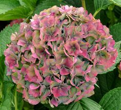 Pink & Green Hydrangea. Love Love Love...one of my Mom's favorite flowers.