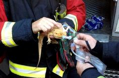 Faith in humanity restored #4. Saved: Thorn the bearded dragon gets oxygen. Firefighters were called when a bulb overheated and dropped into the lizard's home, known as a vivarium, setting a piece of wood alight. Two fire crews rushed to the scene and entered the smoke-filled building wearing breathing apparatus to rescue two-year-old Thorn from the basement of the house. West Midlands Fire Service, England by SWNS