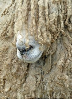 """Now, where did I put my straighteners..?"". Lincoln Longwool sheep 