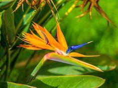 Strelitzia Reginae : Bird of Paradise Plant Outdoor Flowering Plants, Strelitzia Plant, Birds Of Paradise Plant, Plant Health, Types Of Soil, Plant Care, Flower Making, Evergreen, Mists