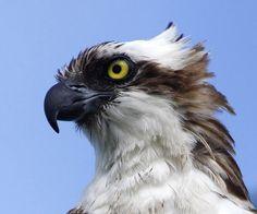 osprey artwork | Osprey Head Shot by Cajun Dave, via Flickr