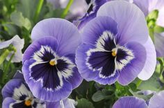 """Want to get out there and plant some color right now? Pansies are the perfect choice. Pansies are a """"cool crop"""", meaning that they thrive in cool weather...        Read more: http://billingsgazette.com/lifestyles/home-and-garden/plant-hardy-pansies-now-to-brighten-up-your-yard/article_7616c37b-1242-567b-8c99-3a317cf37af6.html#ixzz1qtOuZYpc"""