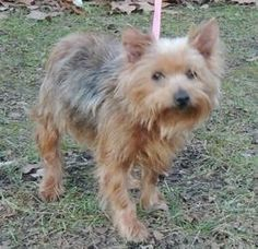 Trixie is an adoptable Yorkshire Terrier Yorkie Dog in Joplin, MO. Trixie is an 8 year old Yorkie with special needs. She definitely needs someone that has time for her....