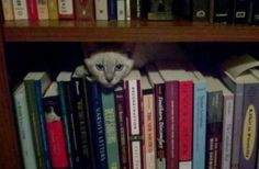 Sanskrit, a lynx point Siamese, in his favorite place.