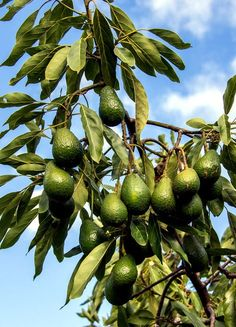 How to grow Avocado Tree, Growing an Avocado tree in containers, Butter fruit, Avocado plant care. The avocado should be planted between March and June.Ornamental Tree with Delicious, Healthy Fruit Hass Avocado is a tree that produces outstanding fru Hass Avocado Tree, Avocado Tree Care, Growing An Avocado Tree, Avocado Plant, Growing Tree, Planting Avocado Tree, Avocado Egg, Fast Growing, Backyard Vegetable Gardens