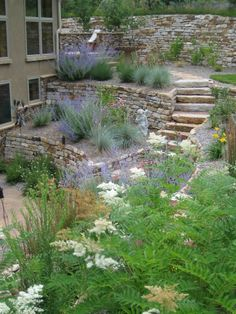 Terraced garden - Russian sage works well with stone