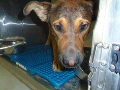 Animal ID35663879  SpeciesDog  BreedShepherd/Mix  Age2 years 4 days  GenderMale  SizeLarge  ColorTan/Black  SiteDepartment of Animal Services, City of El Paso  LocationKennel A  Intake Date6/15/2017
