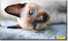 Read Liam the Siamese Cat's story from The Netherlands and see his photos at Cat of the Day http://CatoftheDay.com/archive/2013/February/08.html .
