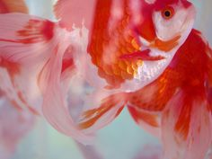 Japanese goldfish: photo by ayumit