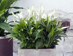 10 растений, притягивающие в дом счастье http://optim1stka.ru/2017/05/16/10-rastenij-prityagivayushhie-v-dom-schaste/