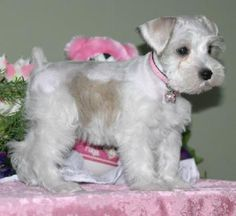 Miniature Schnauzer Puppies For Sale, males and females, parties, silvers, platinium, livers, whites, rare colors at Pewter and Lace Kennels, Alberta, Canada