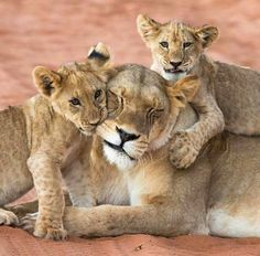 Lioness and cubs Animals And Pets, Baby Animals, Cute Animals, Beautiful Cats, Animals Beautiful, Beautiful Family, Big Cats, Cats And Kittens, Lion Family