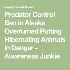 Predator Control Ban in Alaska Overturned Putting Hibernating Animals in Danger - Awareness Junkie