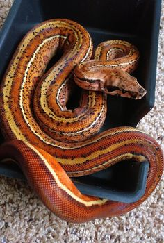 Snake Drawing, Snake Art, Prey Animals, Cute Animals, Geckos, Beautiful Creatures, Animals Beautiful, Snake Breeds, All About Snakes