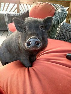 pet pig food -- CLICK Visit link above to read Baby Pigs, Pet Pigs, Animals And Pets, Baby Animals, Cute Animals, Tout Rose, Pot Belly Pigs, Teacup Pigs, Mini Pigs