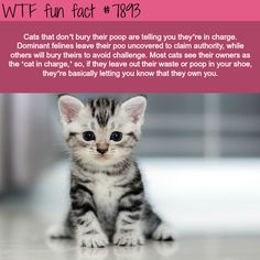 If a cat doesn't bury it's poop, this is what it's telling you - WTF fun facts