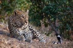 The Mashaba female rests up on a termite mound, scanning the surrounding bush in search of any food. With two extra stomachs to feed, hunting is vitally important for this beautiful leopard. Photograph by Kevin Power Spotted Cat, Mountain Lion, Cheetahs, Pictures Of The Week, Leopards, Big Sky, Wildlife Photography, Big Cats, Madness