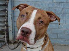 """SAFE !    11/09/13  Brooklyn Center-P~CLYDE~ID #A0983480.Male tan & wht pit bull mix.1YR 1MTH old STRAY 10/29/13  His looks may draw you in, but his personality is really the heart of his charm! He is very sweet & affectionate. He walks well on leash, seems house trained, appears to like other dogs, and will """"sit"""" very patiently for a treat. WHAT MORE COULD YOU WANT! Clyde would be honored to meet you."""